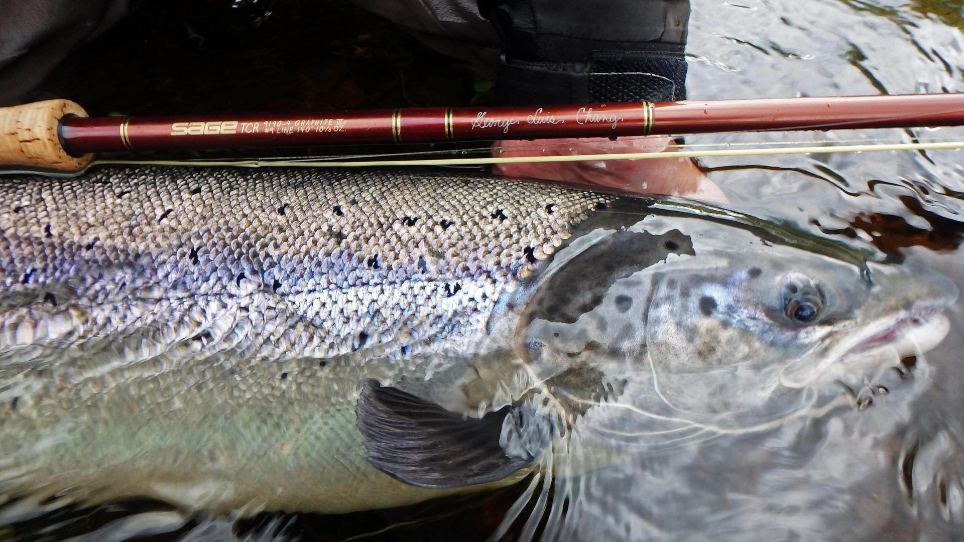 Kola River salmon