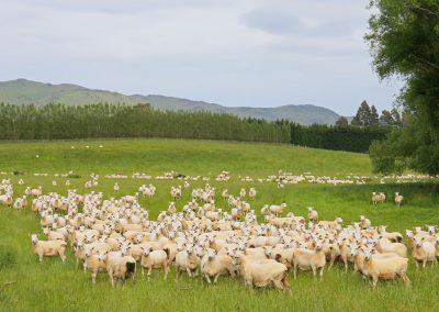 Rebaño de ovejas NZ
